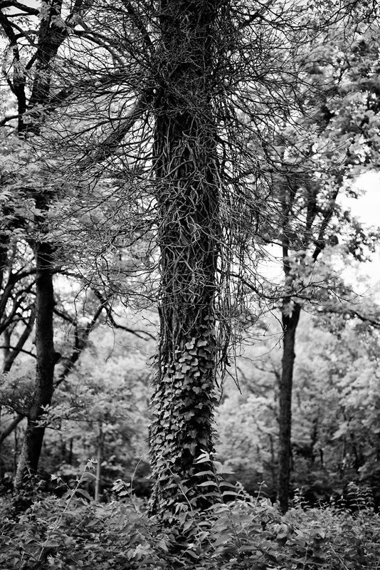 Black and white photograph of a tall tree wrapped with ivy in the forest near Nashville, Tennessee.