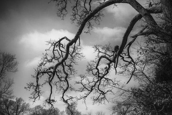 Black and white photograph of beautifully gnarly trees branches on an old tree that seems like it can remember a very long history.