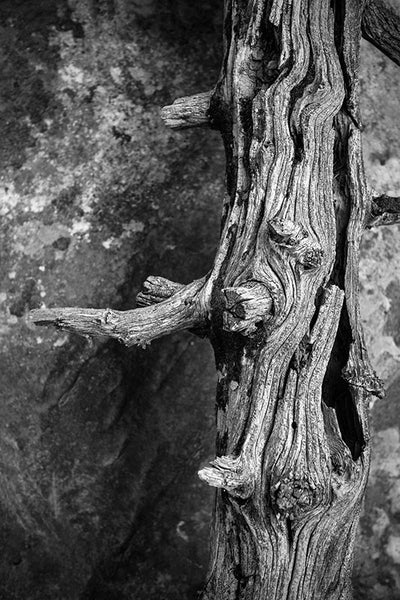 Black and white photograph of a beautifully dried and textured dead tree at Mesa Verde, Colorado.