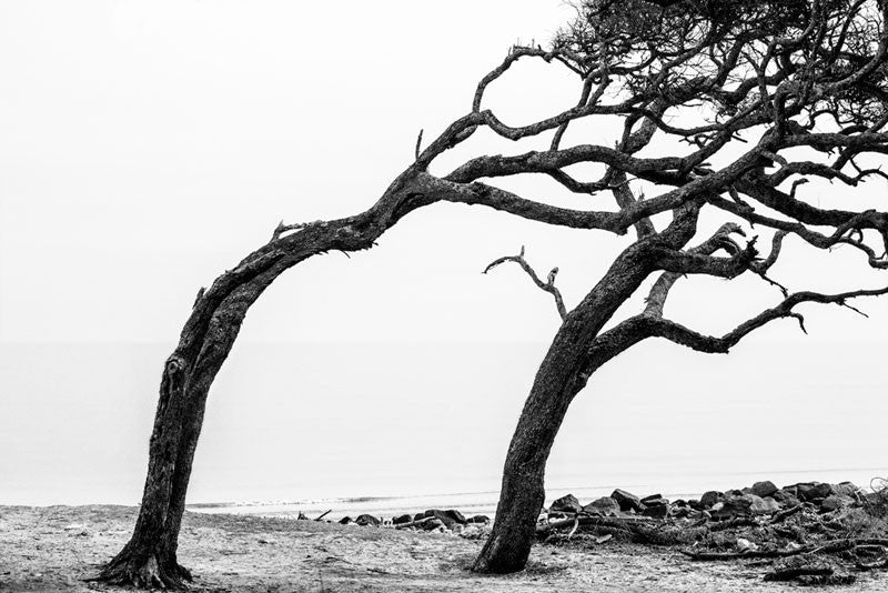 Black and white photograph of windswept trees permanently curved away from the ocean at Driftwood Beach.