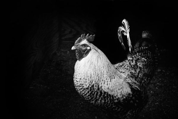 Black and white photograph of a bold rooster protecting his darkened henhouse.