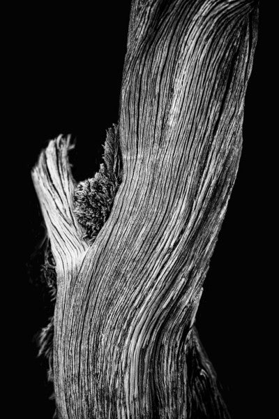 Black and white photograph of a gently sloping Utah desert tree on a black background.