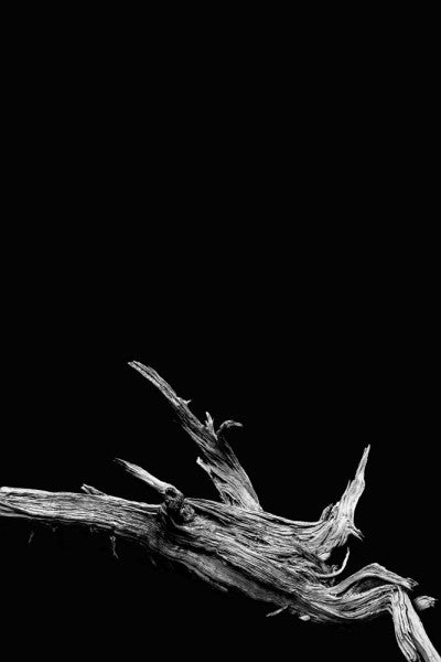 Black and white photograph of a reclined desert tree on black background
