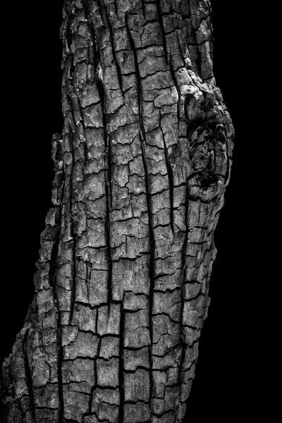 Black and white photograph of a blackened and burned tree trunk in Colorado, having been scorched by a forest fire started by a lightning strike.