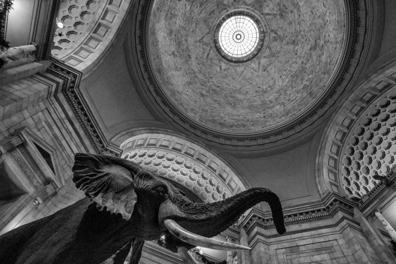 Black and white photograph looking up at the ceiling rotunda and the famous stuffed elephant inside the Museum of Natural History in Washington, D.C.