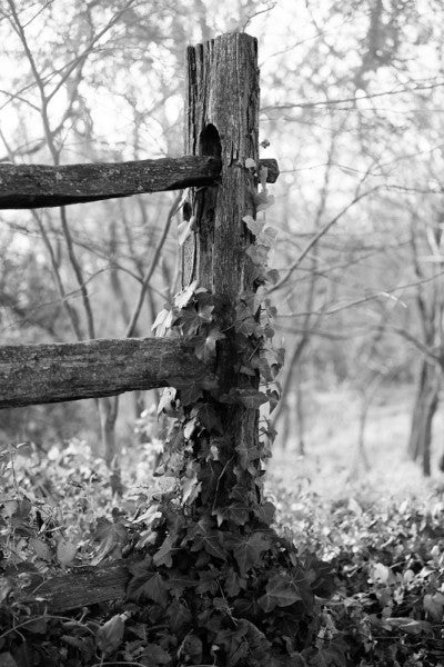Black and white landscape photograph of an ivy-clad fence post in early morning sunlight on George Washington's property at Mt. Vernon, Virginia.