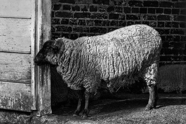Black and white photograph of sleepy sheep on the working farm that still operates on George Washington's property at Mt. Vernon, Virginia.