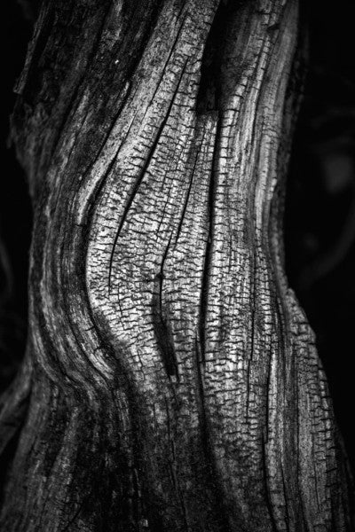 Black and white photograph of a desert tree on black background, bearing a striking resemblance to a human torso.