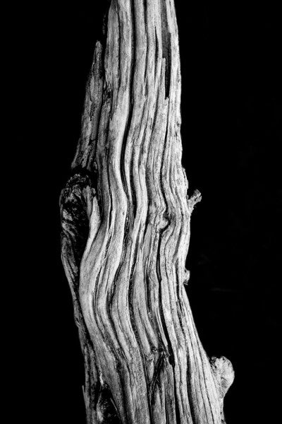 Black and white photograph of a textured, detailed desert tree branch on a black background.