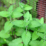Lemon Catnip — Lemony Tea Herb