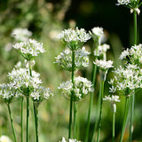 Garlic Chive - Easy Perennial Food Crop