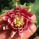 Gayla's Special Mixed Aquilegia Flower Seeds