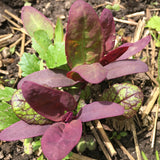 "Red Orach Seeds — Gorgeous edible leafy ""green"""