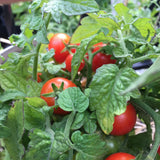 Mohamed Ultra Dwarf Tomato Seeds - Great for Apartments!