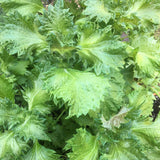 *NEW* Green Shiso (aka Perilla)