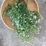 *NEW* Oregano Seeds - Versatile Culinary Herb