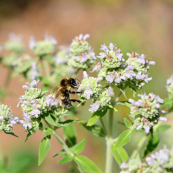 Mountain Mint — North Eastern Native Edible