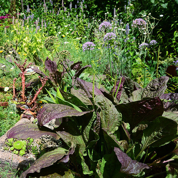 Purple Plantain — Ornamental, Edible & Nutritious!