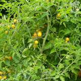 Broad Ripple Yellow Currant Tomato Seeds
