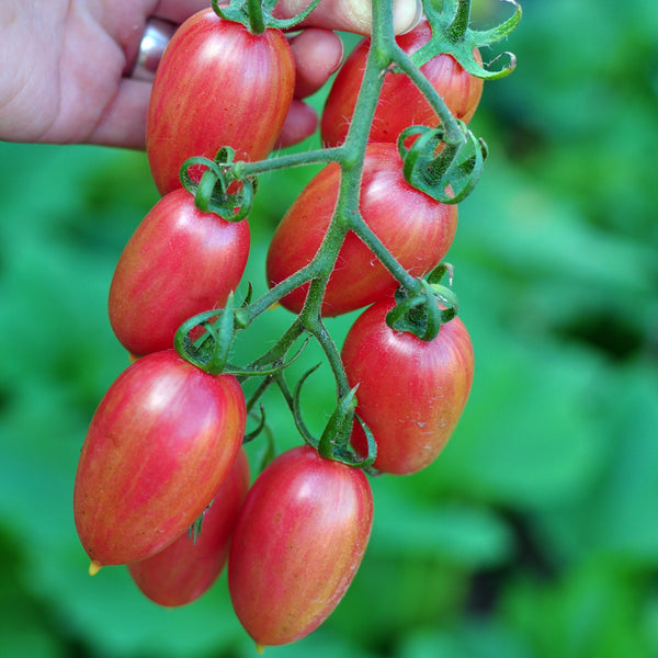 Maglia Rosa - RARE Elongated Cherry Tomato