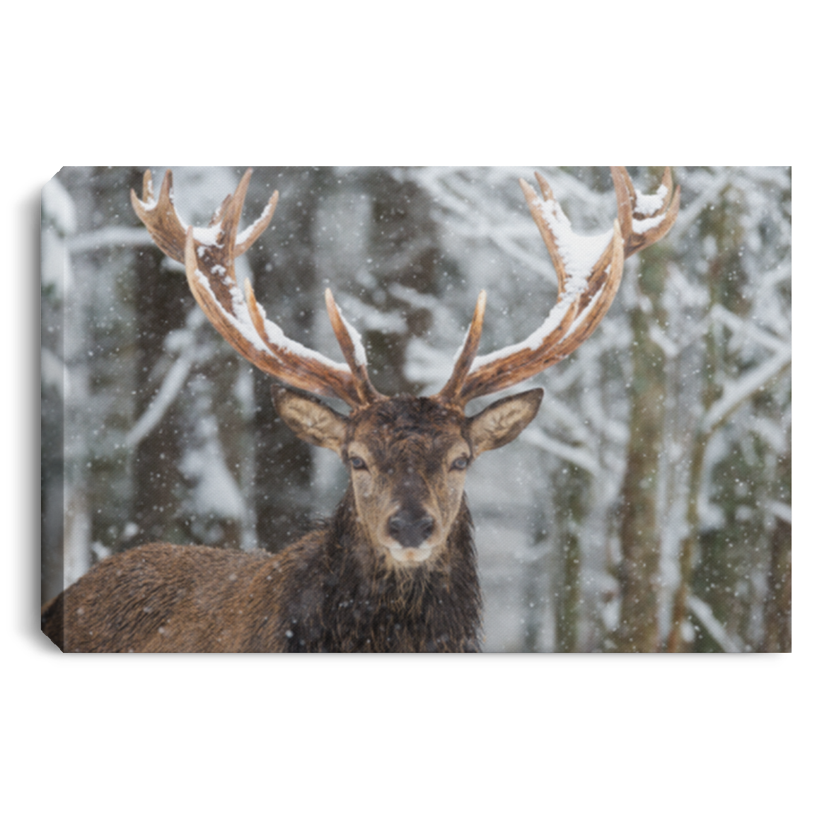 Big Buck In Snow Wall Art Canvas .75in Frame