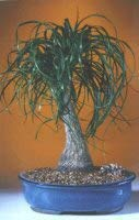Ponytail Palm- Extra Large (Beaucamea Recurvata)