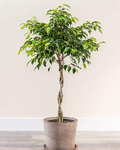 PlantVine Ficus benjamina 'Wintergreen', Weeping Fig - Extra Large (5-5.5ft), Tree - 12-14 Inch Pot (7 Gallon), Live Indoor Plant