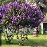 Large Catawba Tree Crape Myrtle, Matures 18ft+, Gorgeous Dark Purple Flower Clusters, Excellent Yellow/Orange/Red Fall Foliage, Prolific Bloomer, Ships 2-4ft Tall, Well Rooted in Pot with Soil (15)