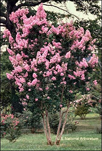 Large Potomac Tree Crape Myrtle, Matures 15ft+, Clear, Light Pink Flower Clusters, Dark Green Leaves, Beautiful Gray Bark, Ships 2-4ft Tall, Well Rooted in Pot with Soil (20)