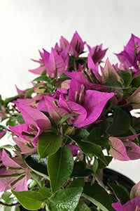 New River Purple, Bougainvillea Plant (Flowers, Hanging Basket, Bush, Trellis, Patio Tree, Vine), 5 Gallon (Trellis)