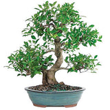 Cutdek Golden Gate Ficus Bonsai Tropical Beauty Indoor Bonsai 20 Years Old Best Plant