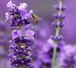 "Findlavender - Lavender MUNSTEAD (Dark Purple Flowers) - 4"" Size Pot - Zones 5-9 - Bee Friendly - Attract Butterfly - Evergreen Plant - 36 Live Plants"