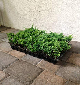 Blue Rug Juniper - 120 Live Plants - Juniperus Horizontalis - Cold Hardy Evergreen Groundcover