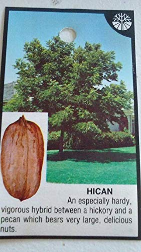 1 Live Plant Hican Pecan Tree Plant Shade Outdoor Gardening tktreas