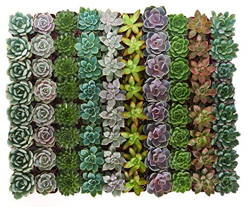 Shop Succulents | Radiant Rosette Collection | Assortment of Hand Selected, Fully Rooted Live Indoor Rose-Shaped Succulent Plants, 256-Pack
