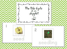 The Life Cycle of an Apple!