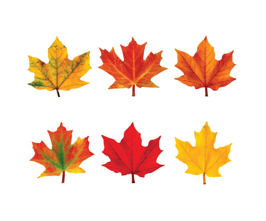 Classic Accents Maple Leaves Mini Variety Pk Discovery T
