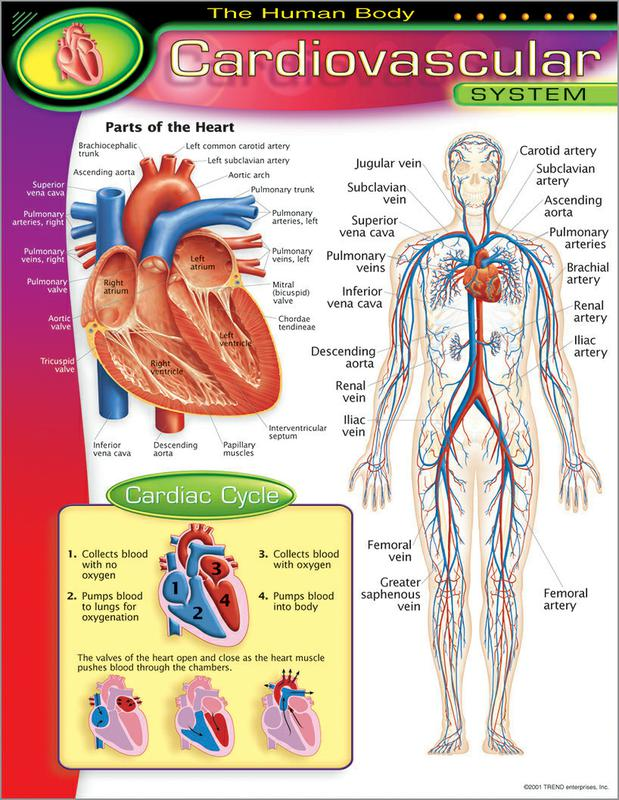 The Human Bodycardiovascular System Learning Chart T 38090 Supplyme