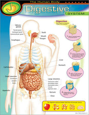 The Human Body–Digestive System Learning Chart