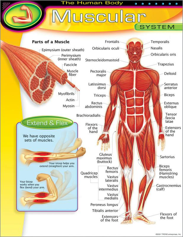 Chart Muscular System T 38095 Supplyme