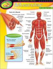 The Human Body–Muscular System Learning Chart