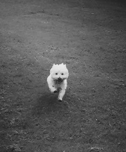 maisy moo the westie