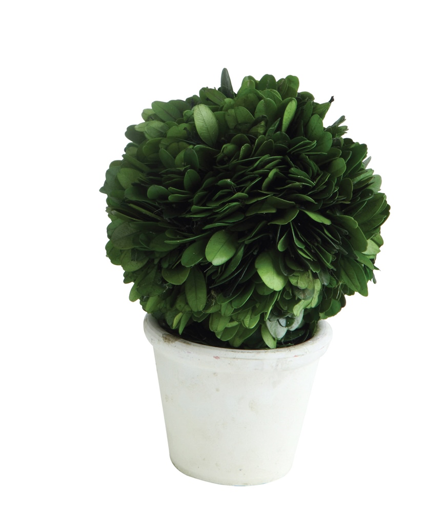 3 Preserved Boxwood Topiary Half Ball In Pot