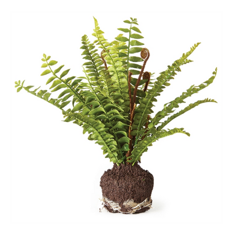 "11"" BOSTON FERN DROP-IN"