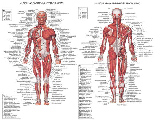 Muscle System Poster