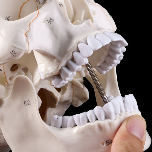 Life Size Anatomical Medical  Skeleton Head