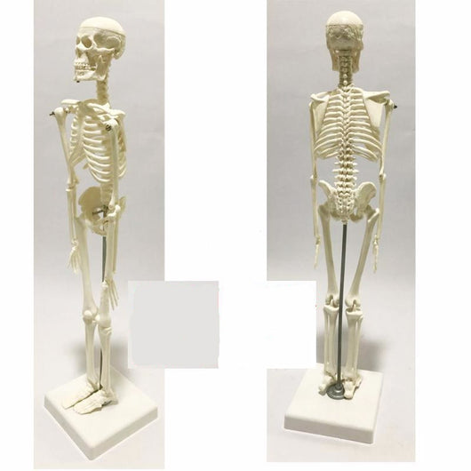 Medical Human Anatomical Anatomy Skeleton Model