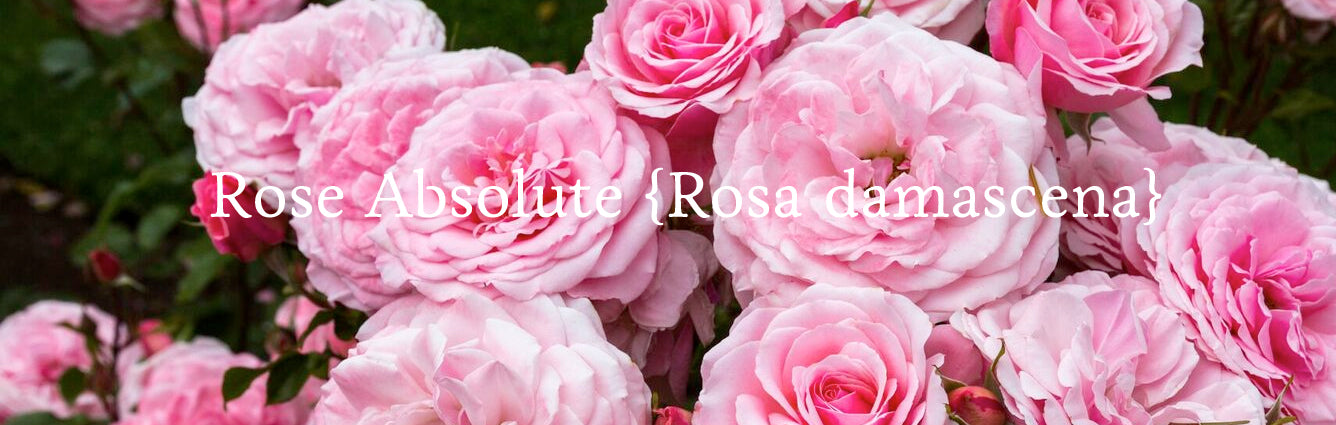 Rose Absolute