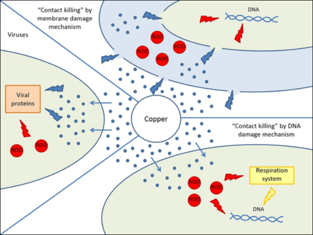 illustration of how copper contact killing works