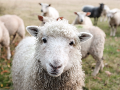 Sheep - source of wool sock material